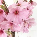 桜 苗木 陽光桜 12cmロングポット苗 ようこうざくら さくら 苗 サクラ
