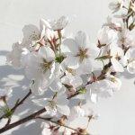 桜 苗木 染井吉野 12cmロングポット苗 さくら 苗 サクラ