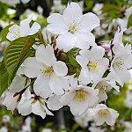 桜 苗木 大島桜 12cmロングポット苗 おおしまざくら さくら 苗 サクラ
