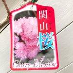 桜 苗木 関山 12cmロングポット苗 かんざん さくら 苗 サクラ