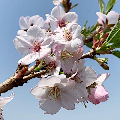桜 苗木 御殿場桜 12cmポット苗 ごてんばざくら さくら 苗 サクラ