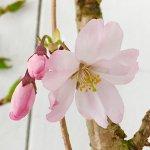 桜 苗木 思川桜 12cmロングポット苗 思い川桜 おもいがわざくら さくら 苗 サクラ