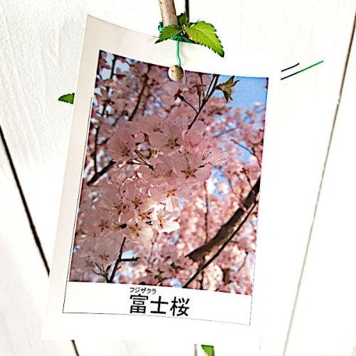 桜 苗木 富士桜 12cmポット苗 ふじざくら さくら 苗 サクラ