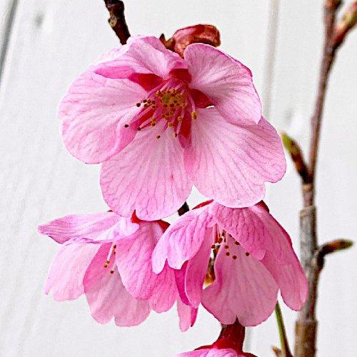 【桜 苗木】雅桜(ミヤビザクラ) 12cmポット苗