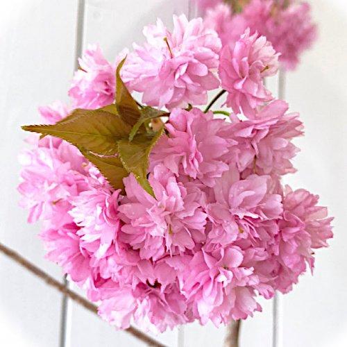 【桜 苗木】菊しだれ桜 12cmポット苗