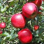 リンゴ 苗木 陽光 12cmポット苗 ようこう りんご 苗 林檎
