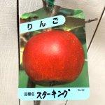 リンゴ 苗木 スターキング 12cmポット苗 りんご 苗 林檎