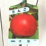 リンゴ 苗木 千秋 12cmポット苗 せんしゅう りんご 苗 林檎