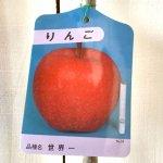 リンゴ 苗木 世界一 12cmポット苗 りんご 苗 林檎