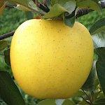 リンゴ 苗木 シナノゴールド (PVP) 13.5cmポット苗 りんご 苗 林檎