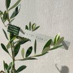 オリーブ 苗木 ミッション 12cmポット苗 オリーブ 苗 オリーブの木