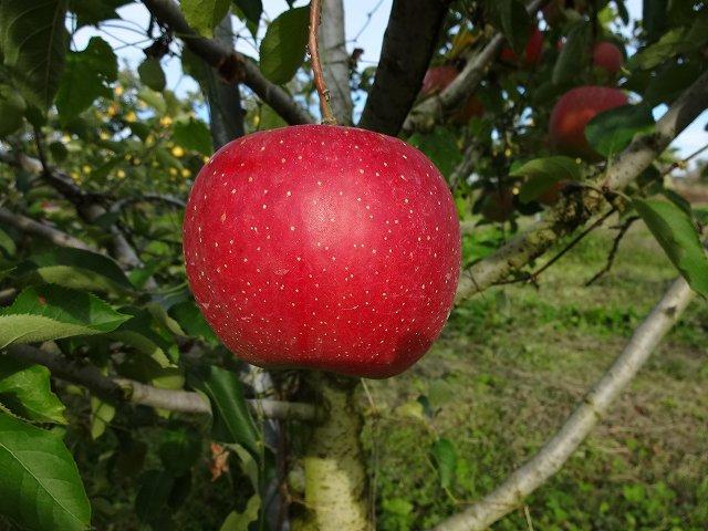 北斗  販売終了いたしました。  当店の人気NO1商品  りんご界の鬼っ子。最高の食味。。画像4