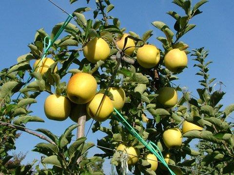 シナノゴールド この品種は年を越してからとなります。 「カリッとした硬い肉質」と甘酸適和で注目のりんご画像3