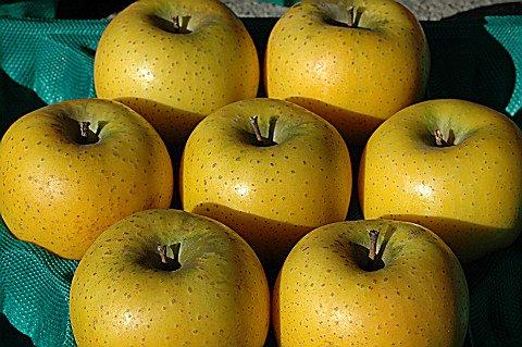 シナノゴールド この品種は年を越してからとなります。 「カリッとした硬い肉質」と甘酸適和で注目のりんご