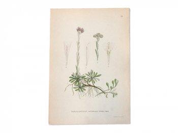 古い植物解剖図 28