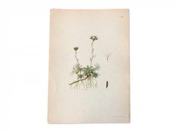 古い植物解剖図 29