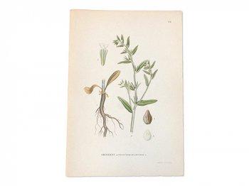 古い植物解剖図 84