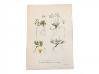 古い植物解剖図 211b