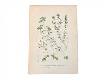 古い植物解剖図 246