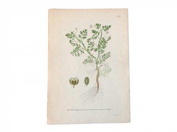 古い植物解剖図 259