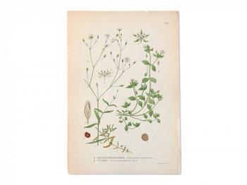 古い植物解剖図 345