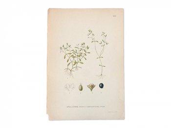 古い植物解剖図 350