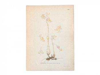 古い植物解剖図 415