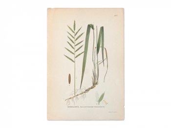 古い植物解剖図 447