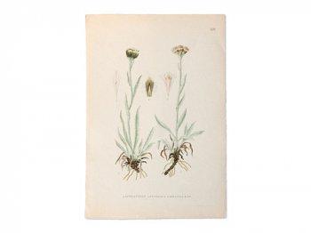古い植物解剖図 529b