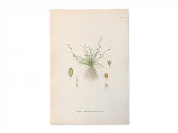 古い植物解剖図 597