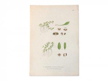 古い植物解剖図 602