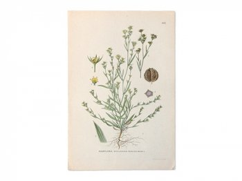 古い植物解剖図 605