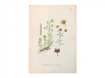 古い植物解剖図 609