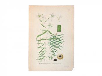 古い植物解剖図 633
